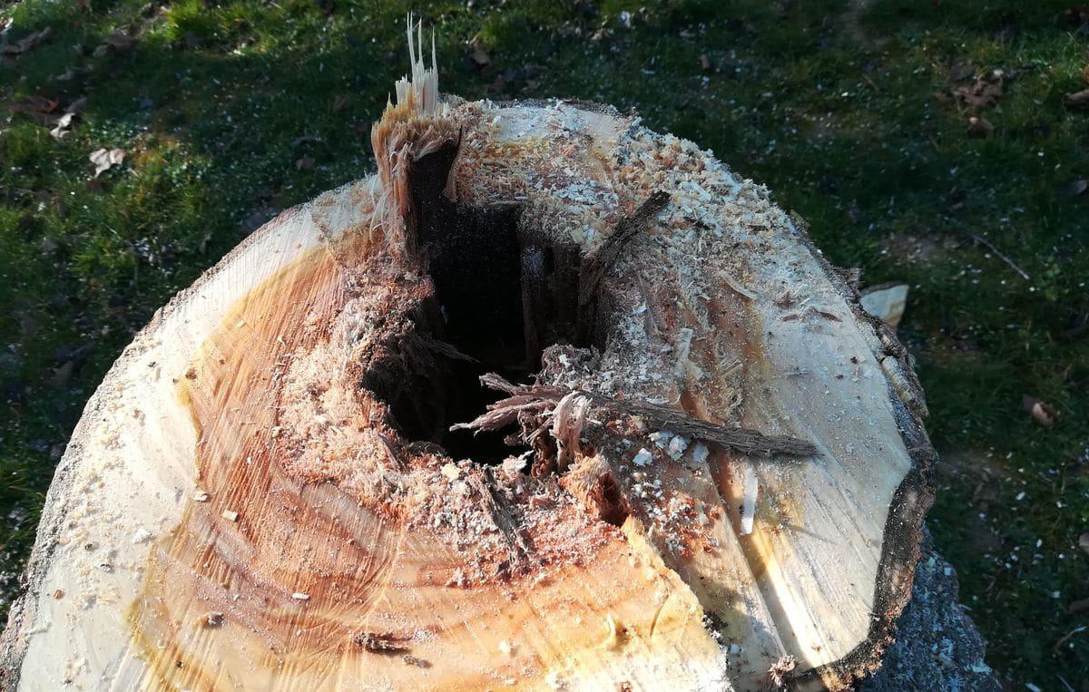 Sustituyen 30 árboles enfermos en Fuente del Moro 1