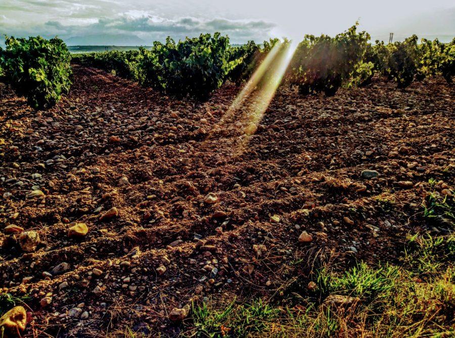 Caminando entre viñedos hasta Zarratón 2