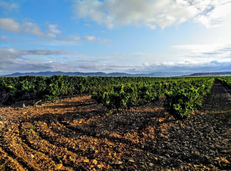 Caminando entre viñedos hasta Zarratón 3