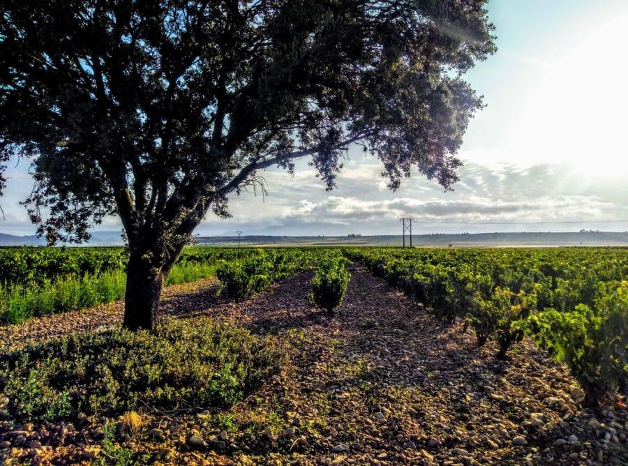 La aplicación de radiación ultravioleta UV-B en viñedo para mejorar la calidad de la uva y el vino 1