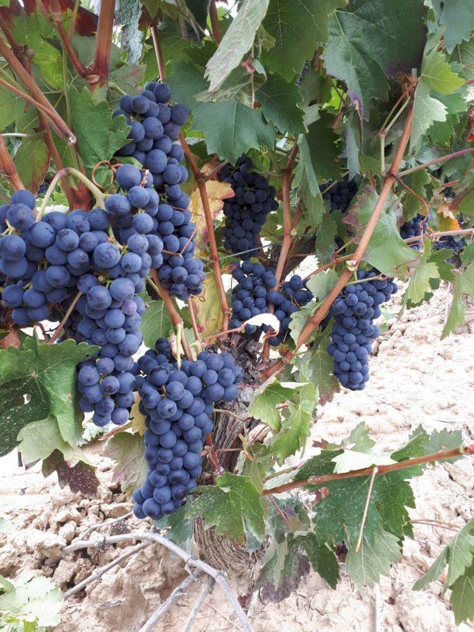 Una cosecha para grandes vinos 13