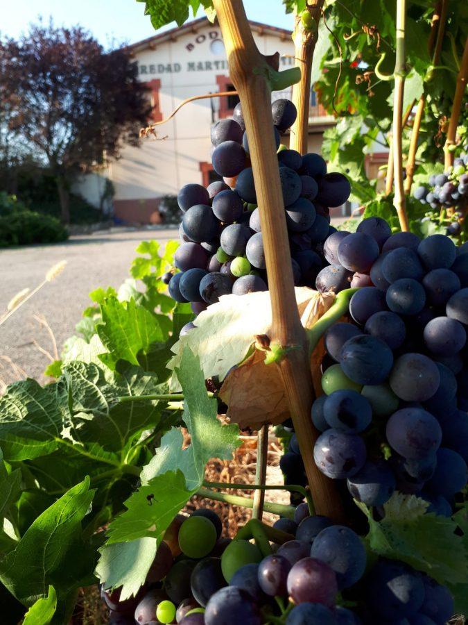 Una cosecha para grandes vinos 15