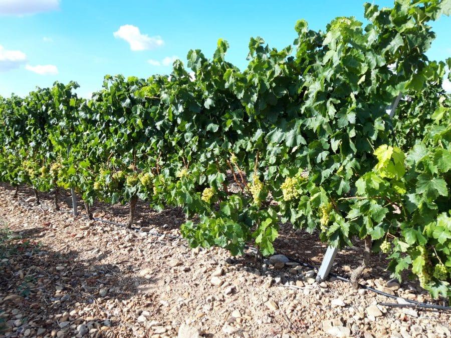 Una cosecha para grandes vinos 10