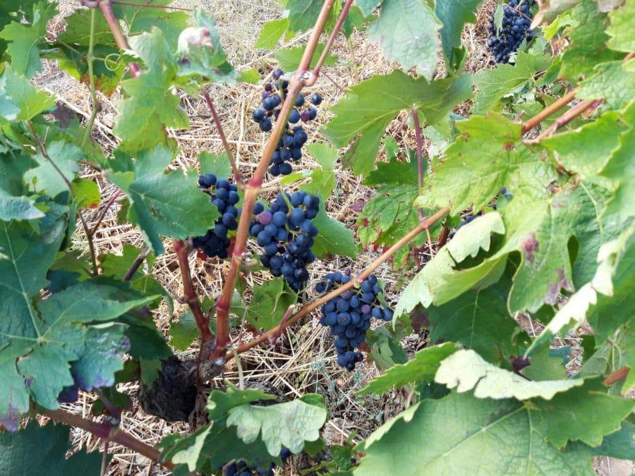 Una cosecha para grandes vinos 5