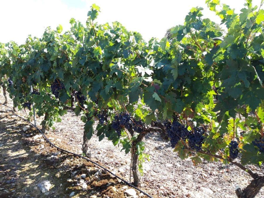 Una cosecha para grandes vinos 6