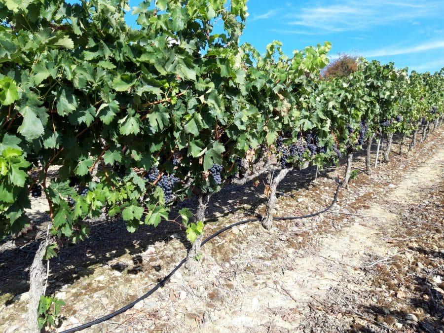 Una cosecha para grandes vinos 8