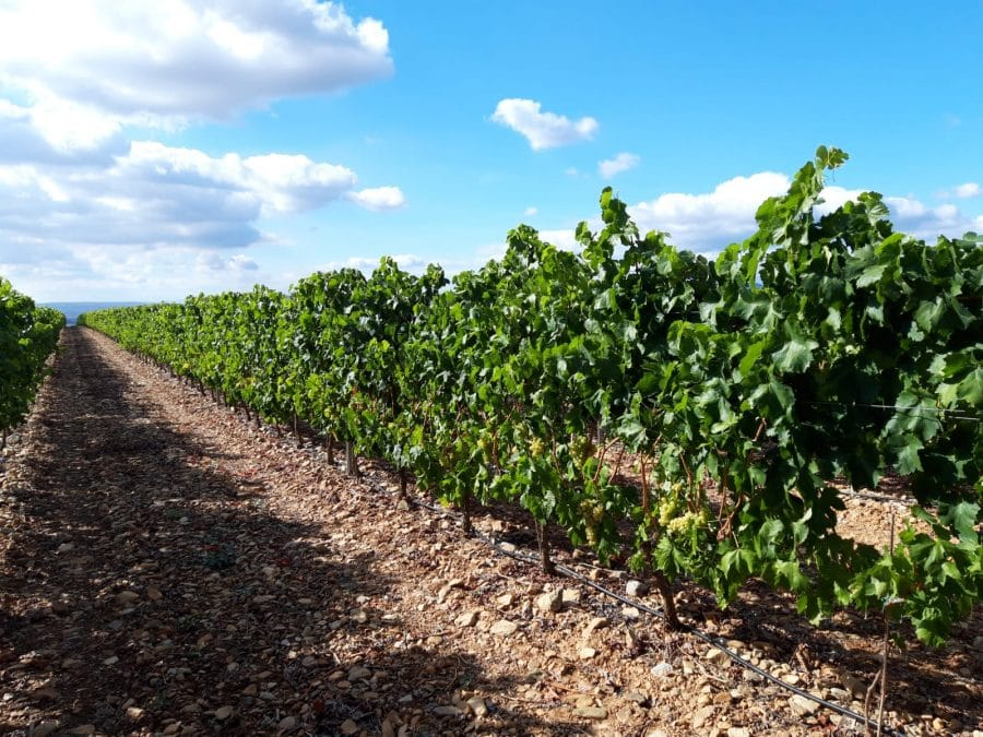 Una cosecha para grandes vinos 9