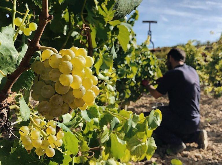Finaliza la vendimia de Rioja 2019: Una cosecha con mayúsculas 2