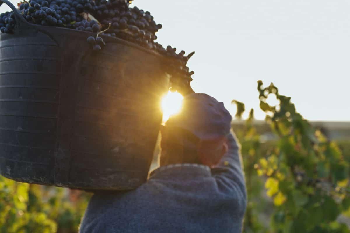 Finaliza la vendimia de Rioja 2019: Una cosecha con mayúsculas 1