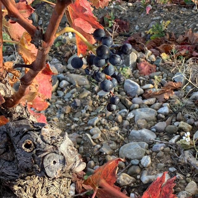 'Racimas', restos de vendimia en La Rioja Alta 5