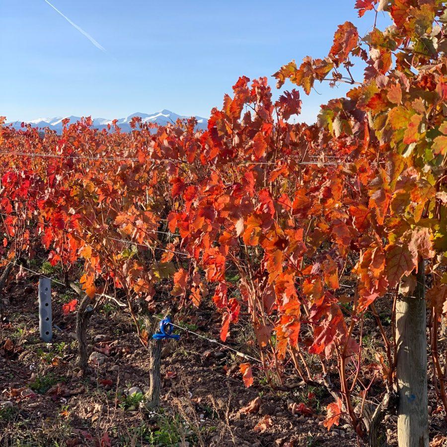 'Racimas', restos de vendimia en La Rioja Alta 3