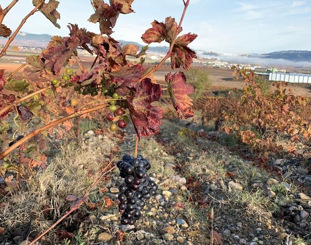 'Racimas', restos de vendimia en La Rioja Alta 4