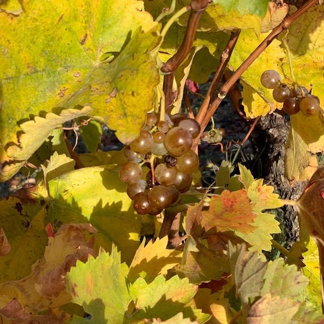 'Racimas', restos de vendimia en La Rioja Alta 1