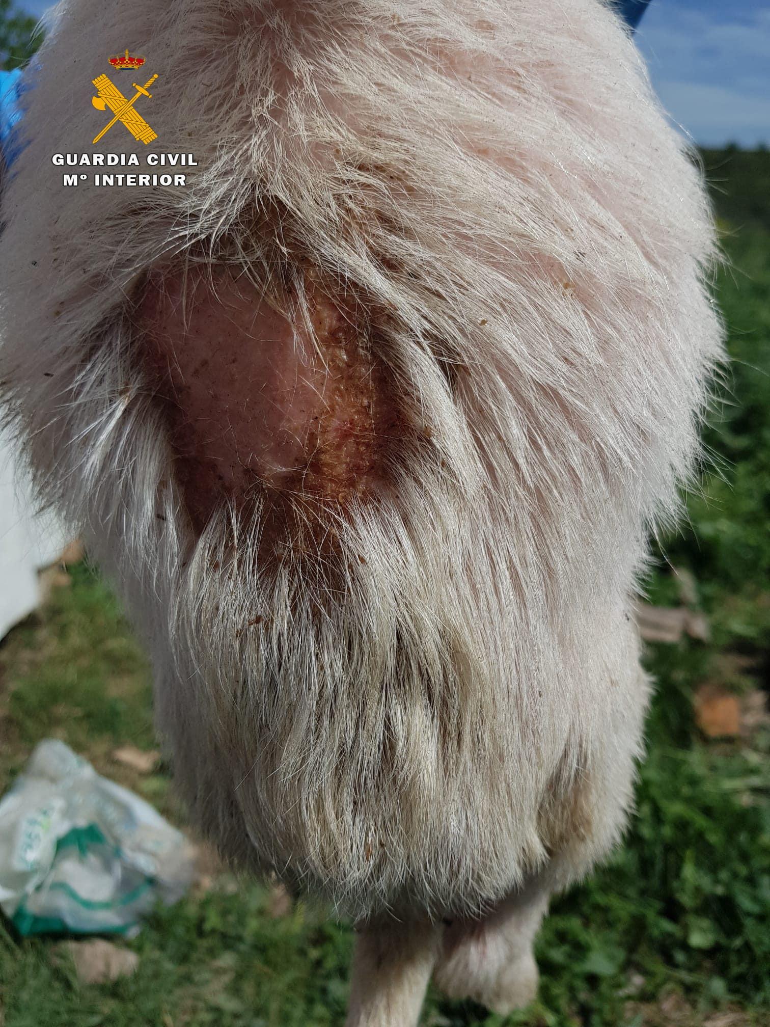 El Seprona ha investigado a un vecino de San Asensio por maltrato animal 2