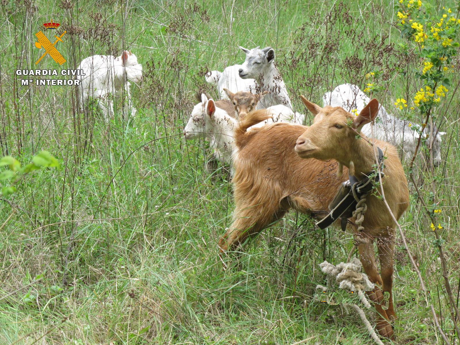 El Seprona ha investigado a un hombre por el robo de seis cabras en San Asensio 2