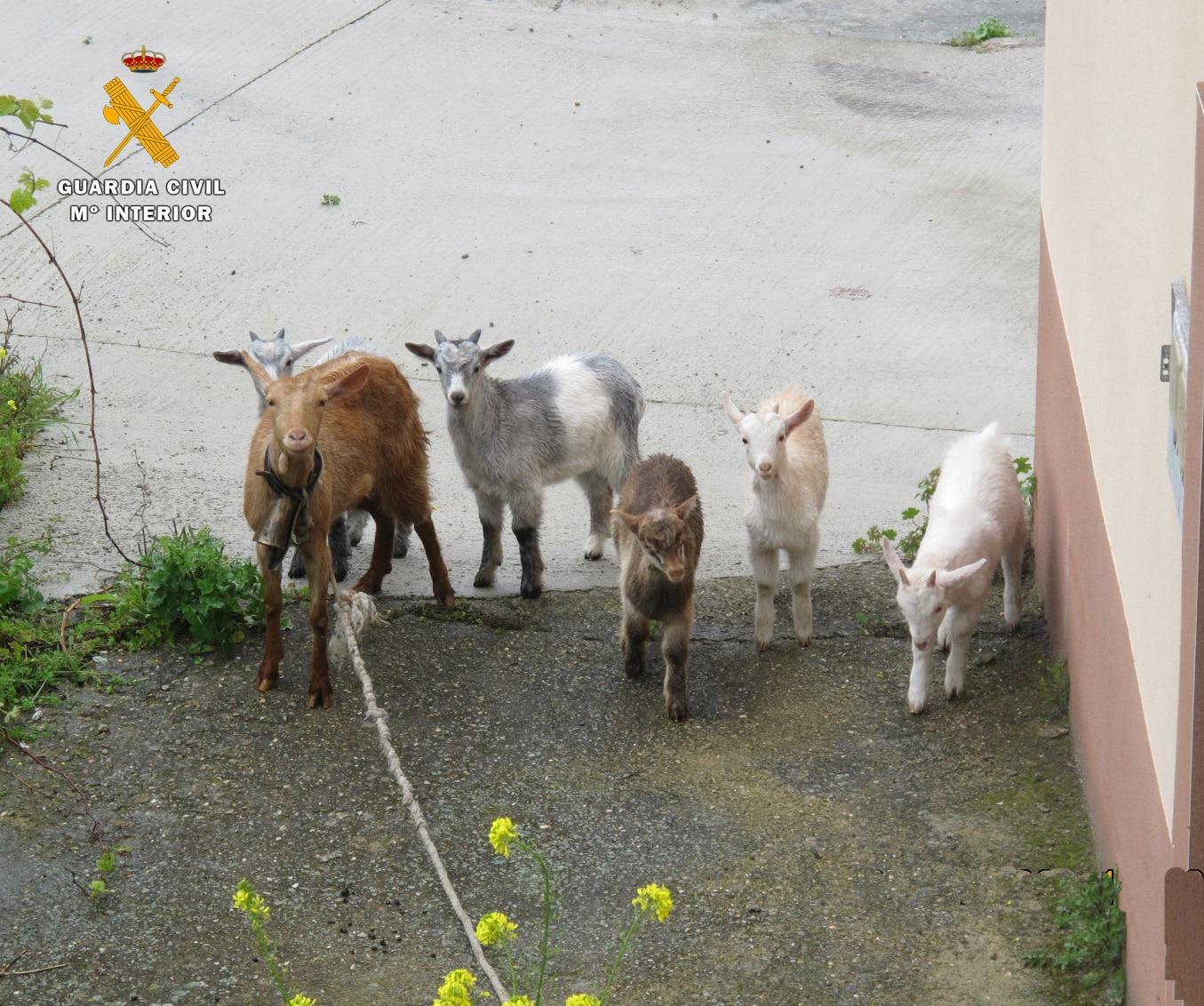 El Seprona ha investigado a un hombre por el robo de seis cabras en San Asensio 1