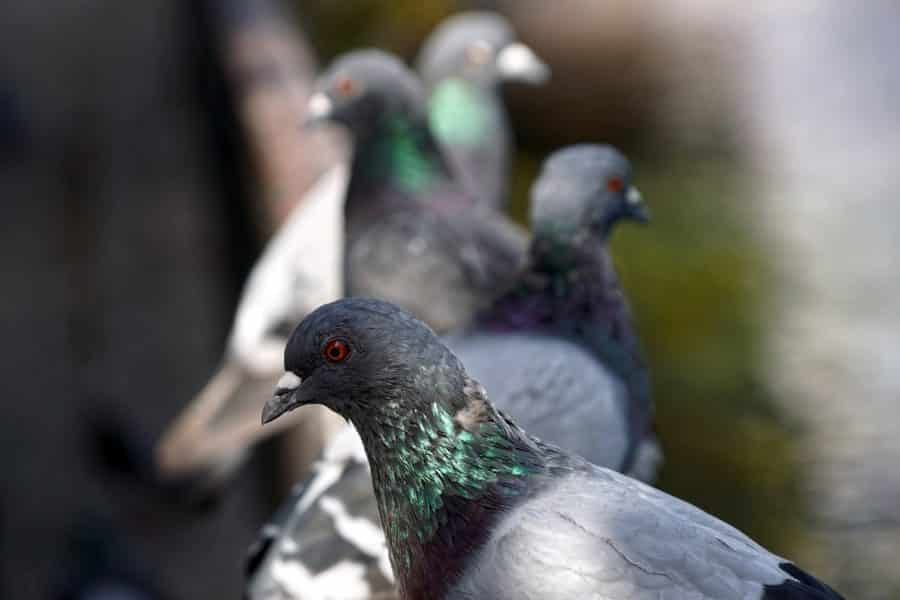Continúan en Haro las labores para controlar la población de palomas 1