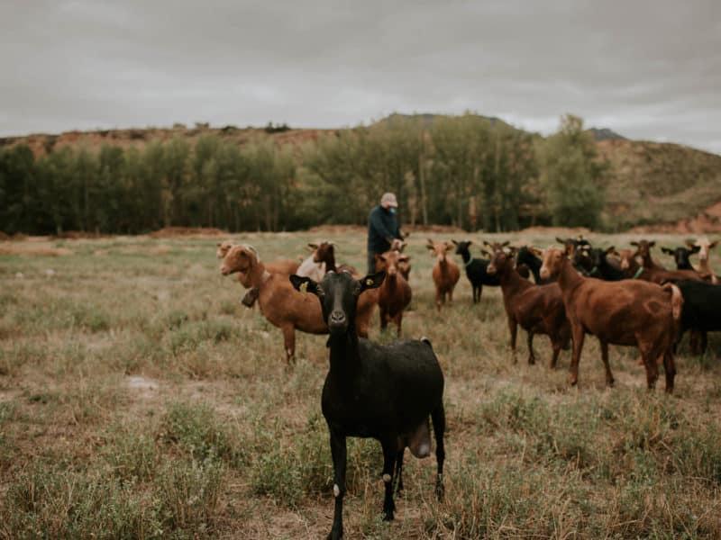 Pastor cabras