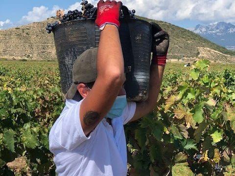 """Vendimia generalizada en la DOCa Rioja con una evolución """"muy positiva"""" de la maduración 1"""