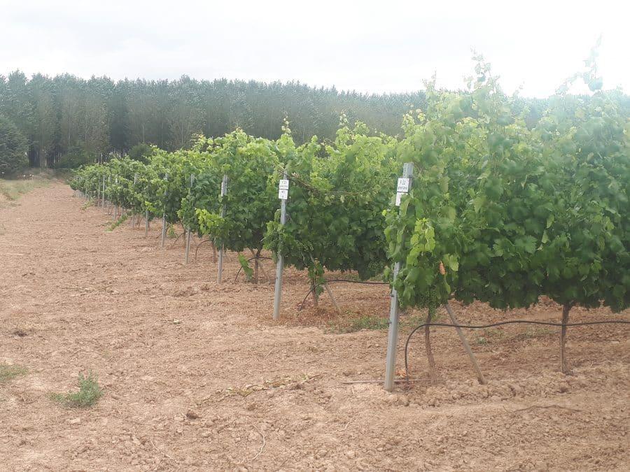 Bilbaínas, La Rioja Alta SA, Ontañón y Vivanco participan en un proyecto franco-español para adaptar el viñedo al cambio climático 1