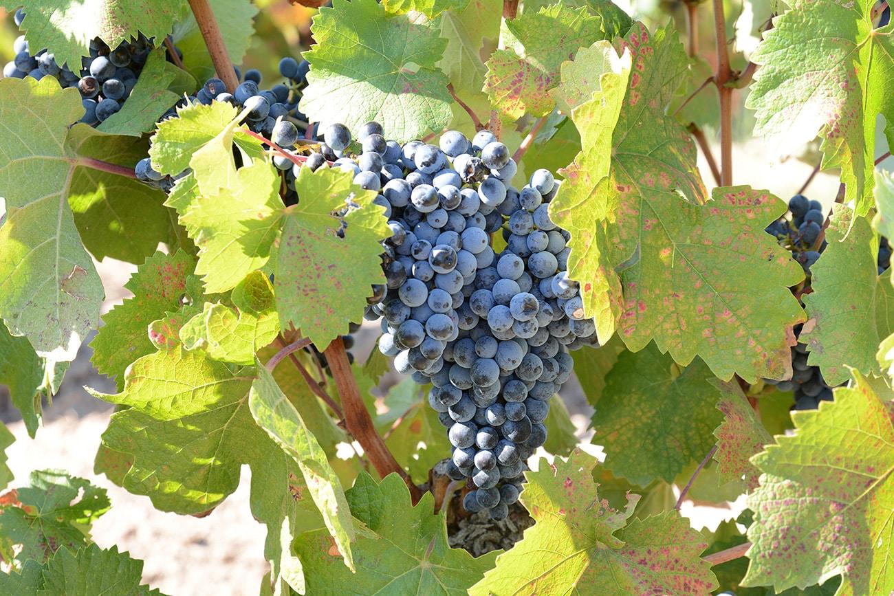 Bodegas Cornelio Dinastía lanza su vino ecológico Vega Vella Graciano 1