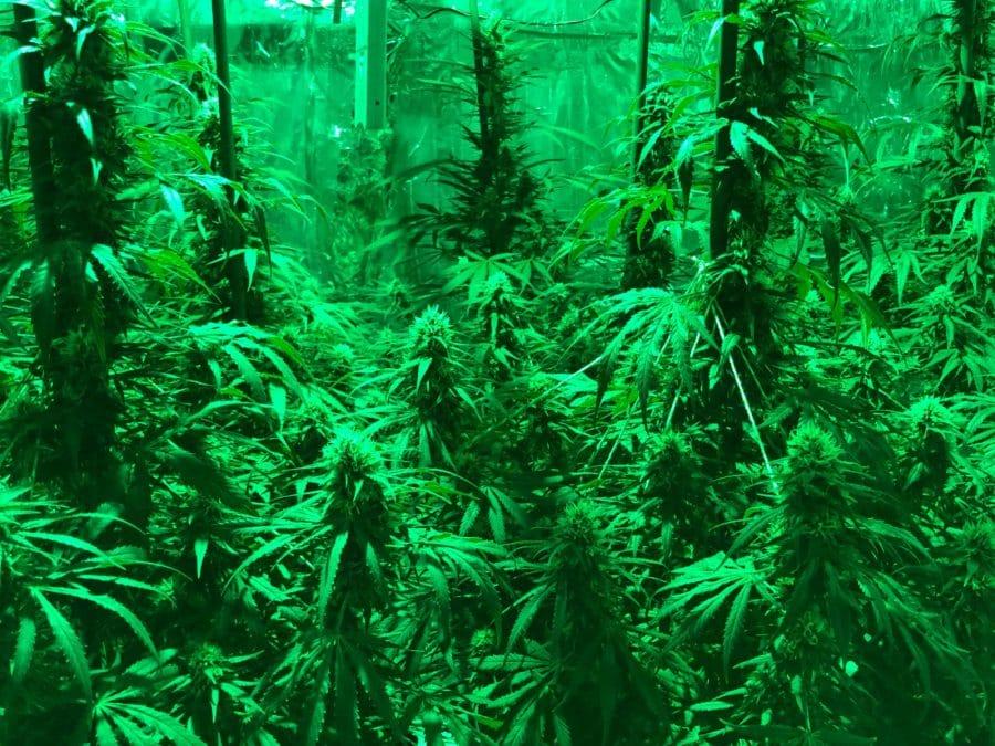 Desmantelan en La Rioja el primer cultivo 'indoor' de marihuana con iluminación LED y música para estimular el crecimiento de las plantas 6