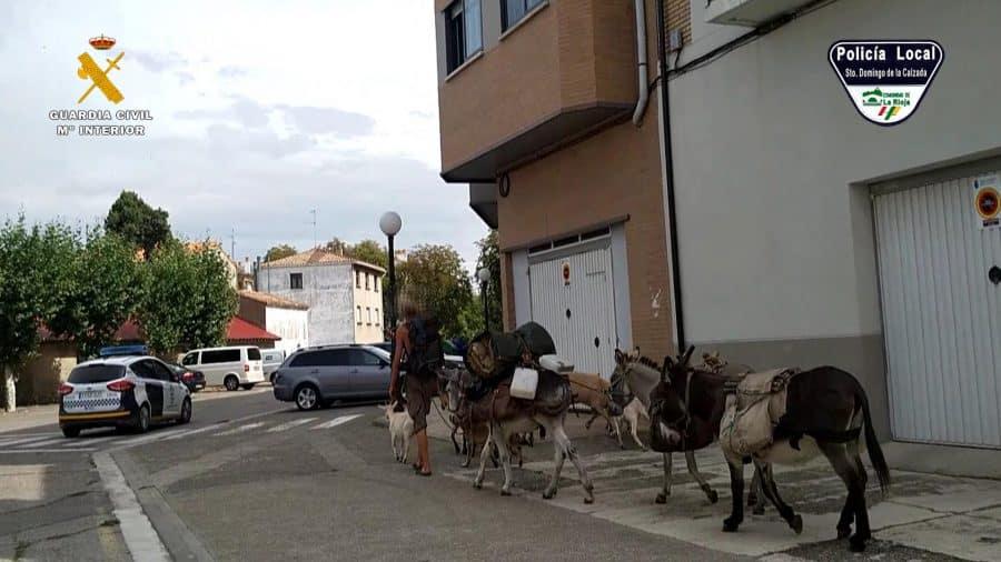 Identifican en Santo Domingo a un peregrino que realizaba el Camino de Santiago con varios animales sin documentación 2
