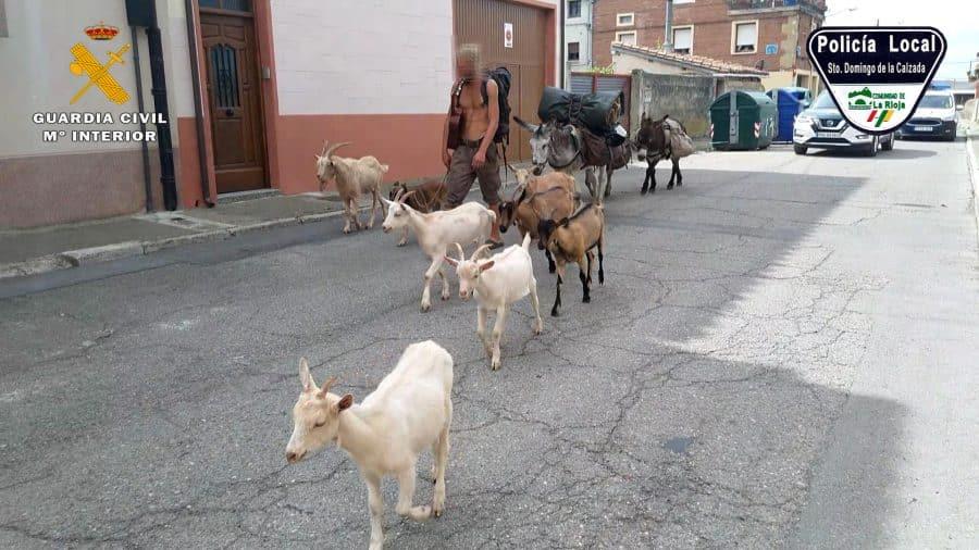 Identifican en Santo Domingo a un peregrino que realizaba el Camino de Santiago con varios animales sin documentación 3