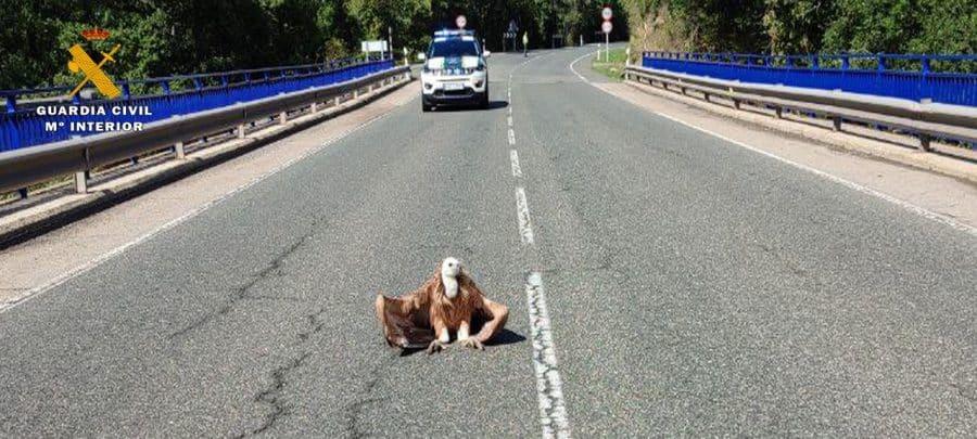 La Guardia Civil evita un accidente de circulación y la muerte por atropello de un buitre en la N-111 1