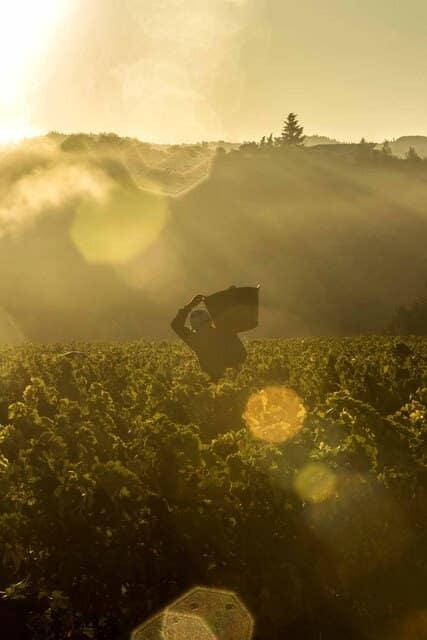 Vendimia en la DOCa Rioja: ya se han recogido unos 39 millones de kilos de uva 1